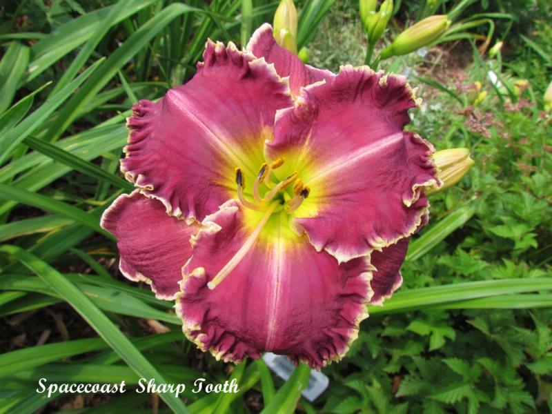 Les hémérocalles enregistrées de mon jardin - Page 6 Spacec21