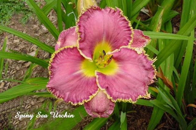 Les hémérocalles enregistrées de mon jardin - Page 6 Spiny_10