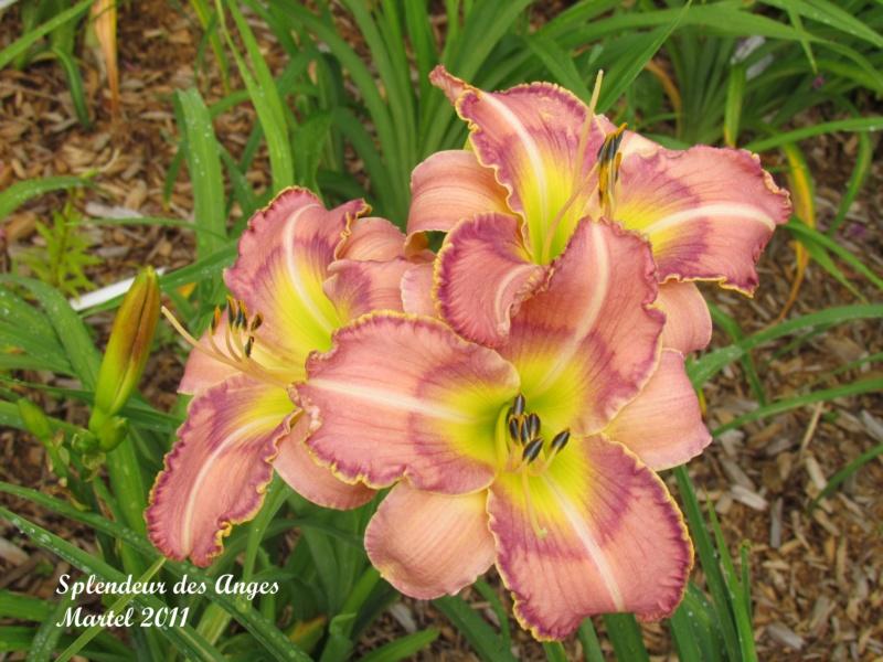 Les hémérocalles enregistrées de mon jardin - Page 6 Splend11
