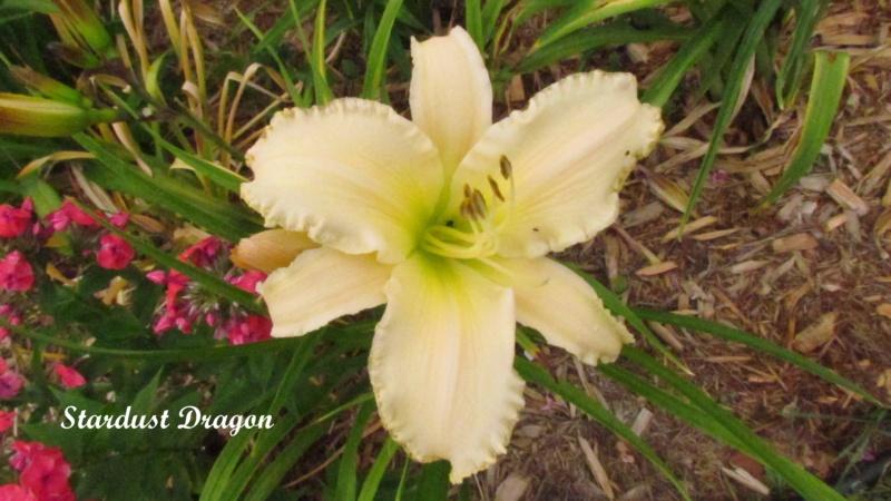 Les hémérocalles enregistrées de mon jardin - Page 6 Stardu10