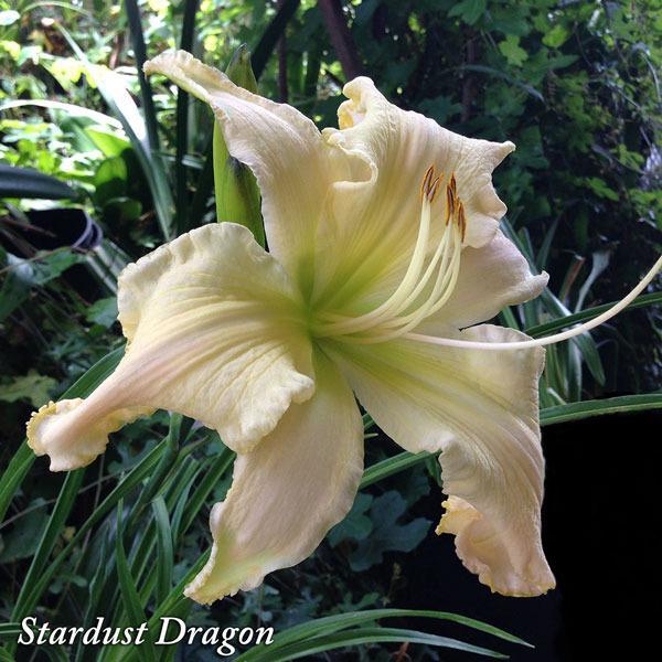 Les hémérocalles enregistrées de mon jardin - Page 6 Stardu11