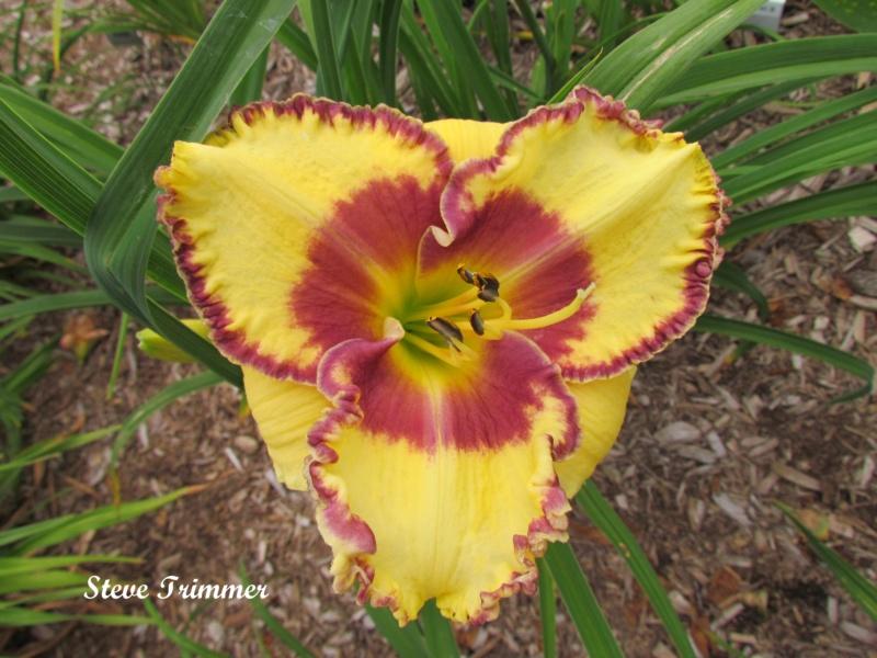 Les hémérocalles enregistrées de mon jardin - Page 6 Steve_10