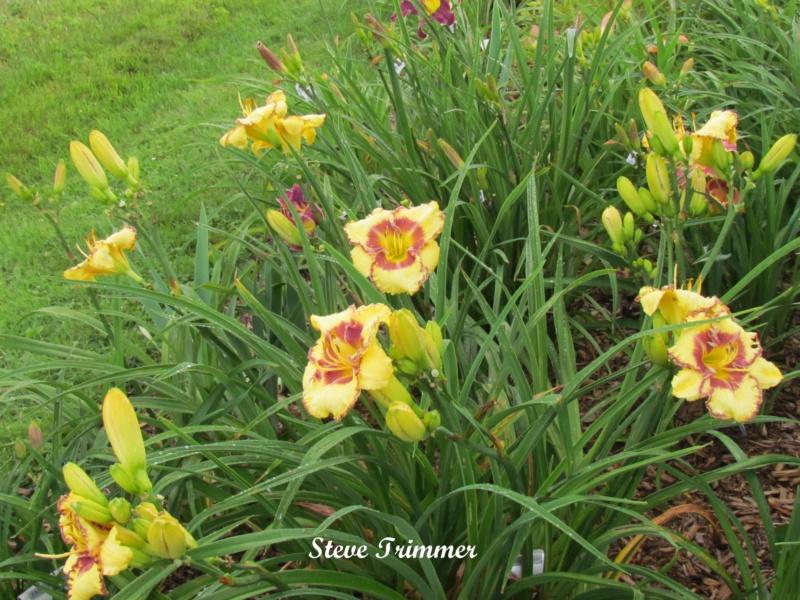 Les hémérocalles enregistrées de mon jardin - Page 6 Steve_11
