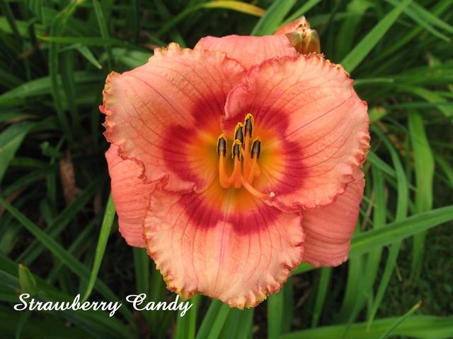 Les hémérocalles enregistrées de mon jardin - Page 6 Strawb10