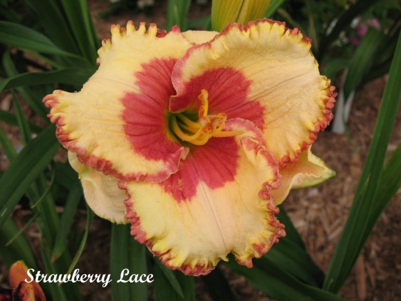 Les hémérocalles enregistrées de mon jardin - Page 6 Strawb11