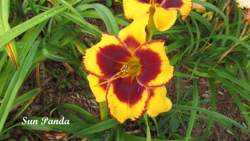 Les hémérocalles enregistrées de mon jardin - Page 6 Sun_pa10