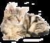 حراج القطط - قطط للبيع في السعودية