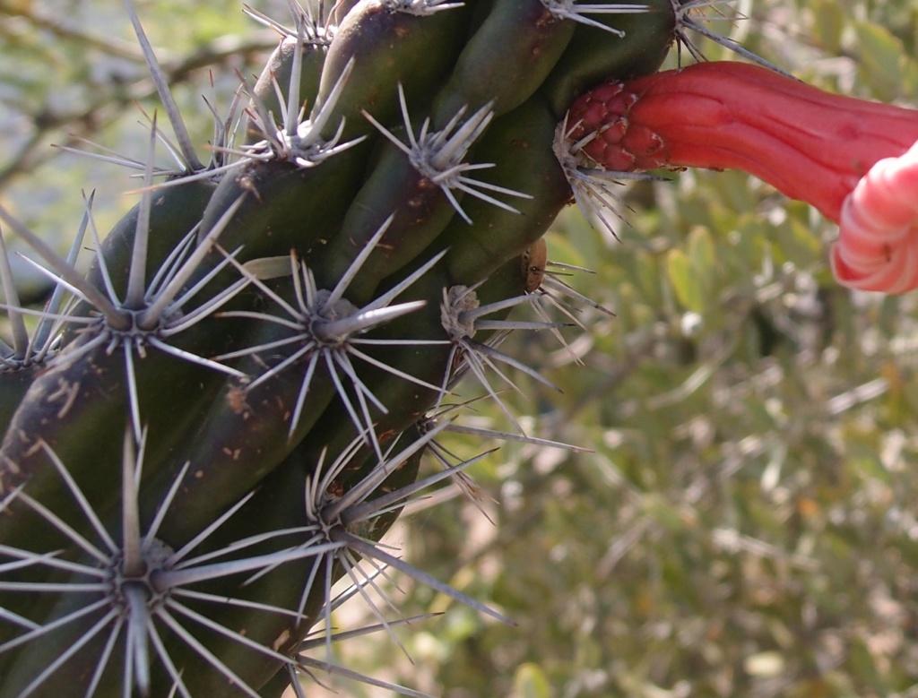 Stenocereus alamosensis Cactus15