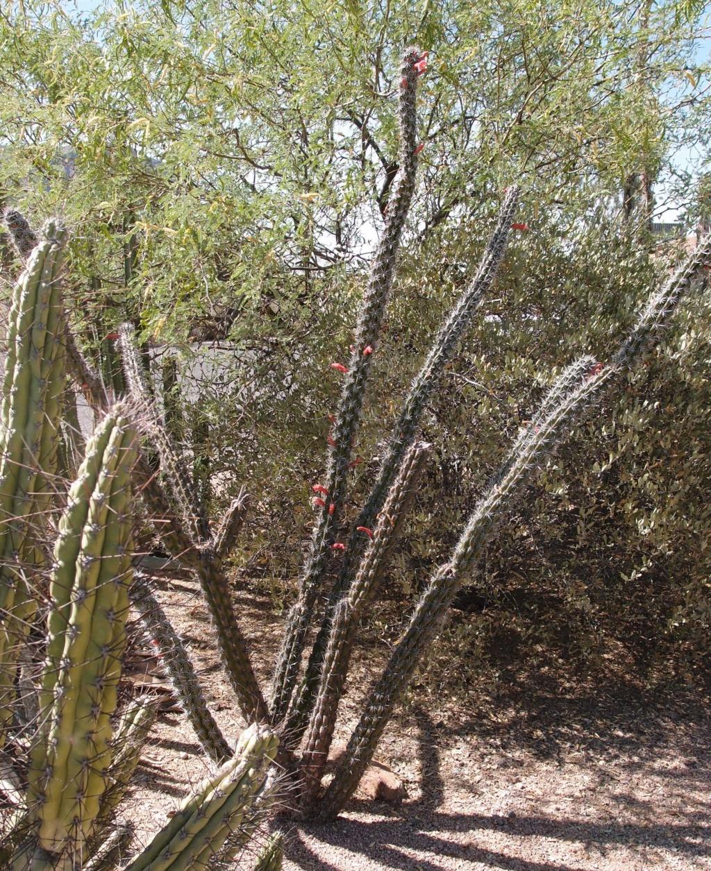 Stenocereus alamosensis Cactus17
