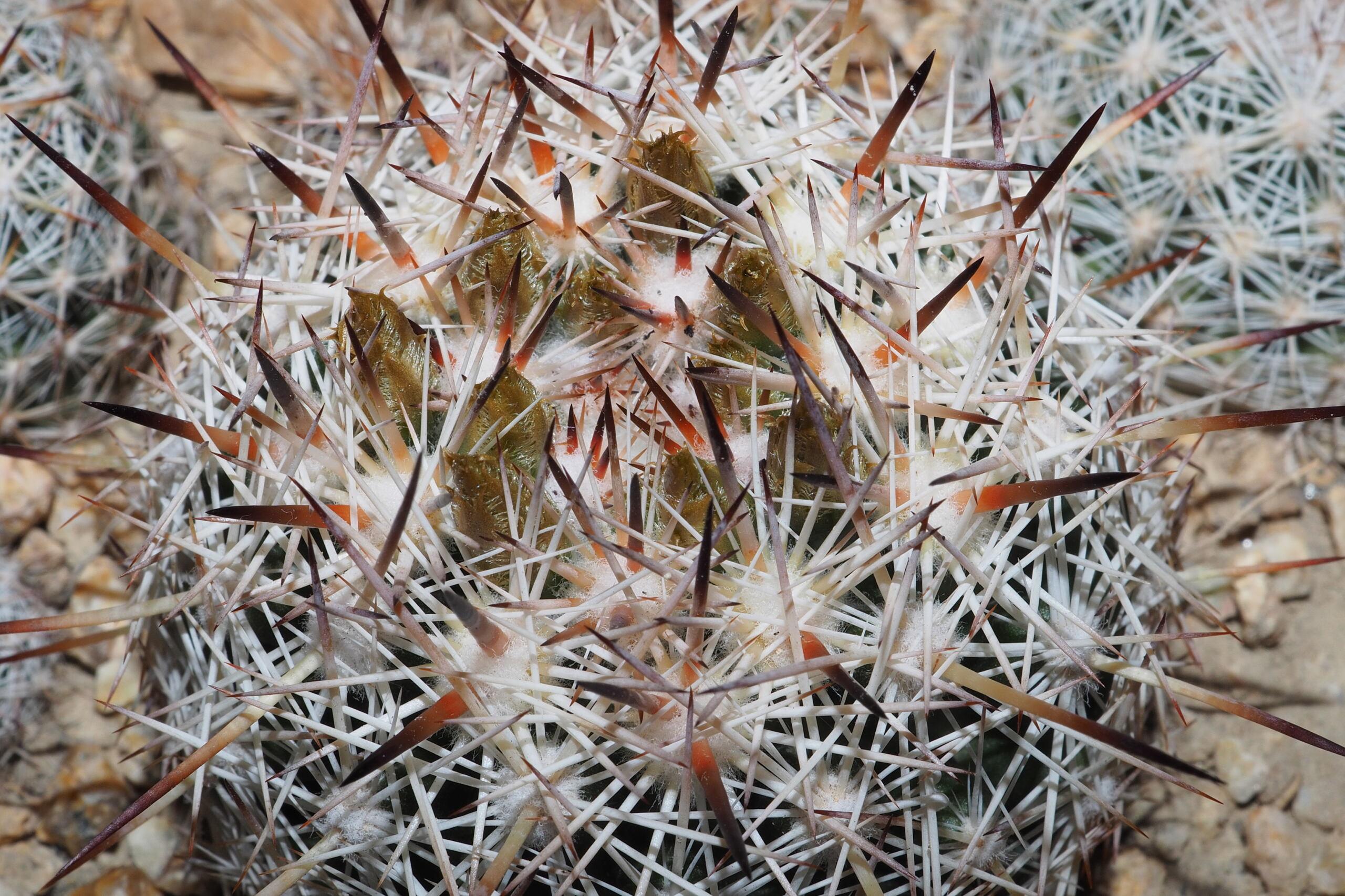 Escobaria chlorantha Kno10