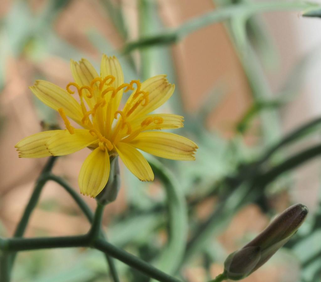 """Cichorioideae - """"Zungenblütler"""" .. eine recht umfangreiche Unterfamilie der Korbblütler - Seite 3 P7300410"""