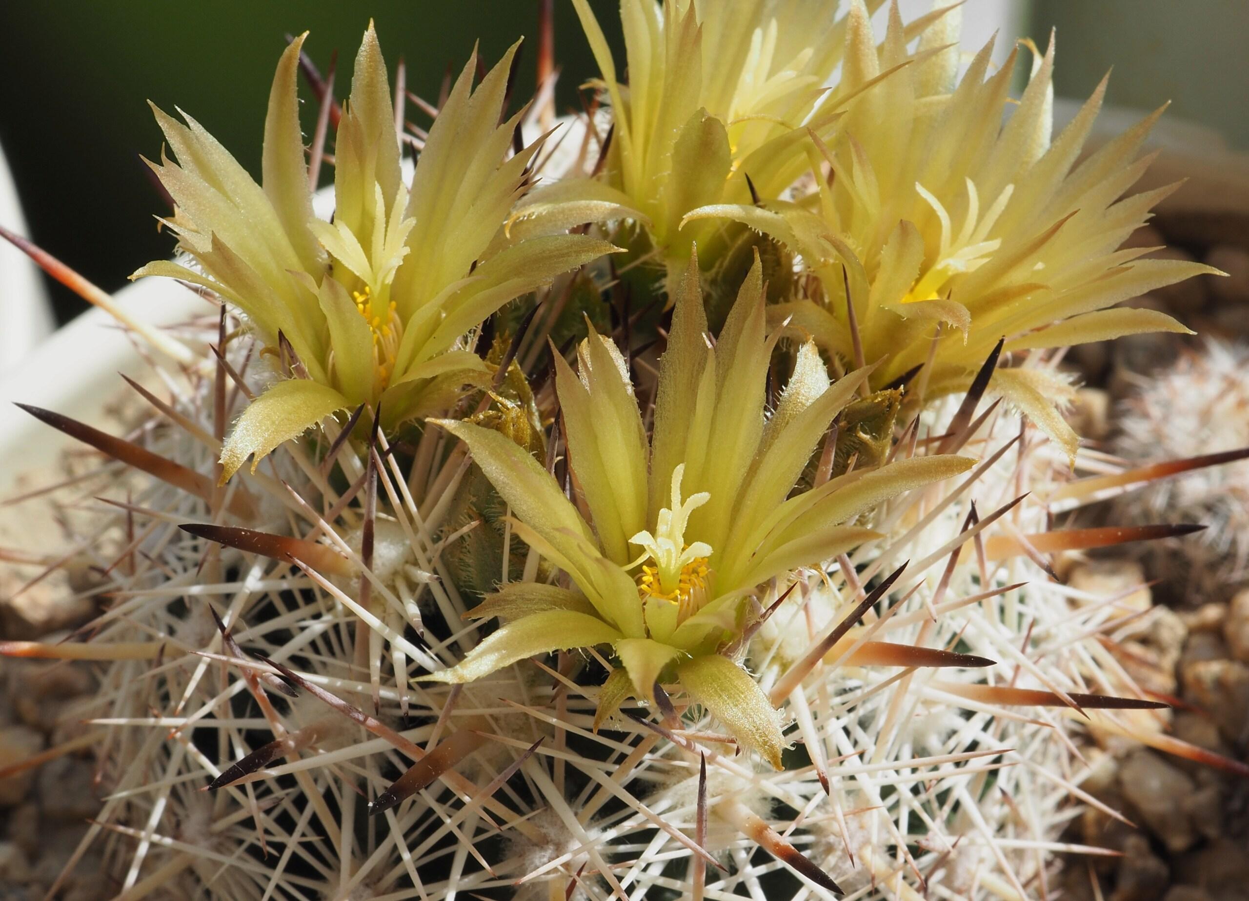 Escobaria chlorantha Yell10