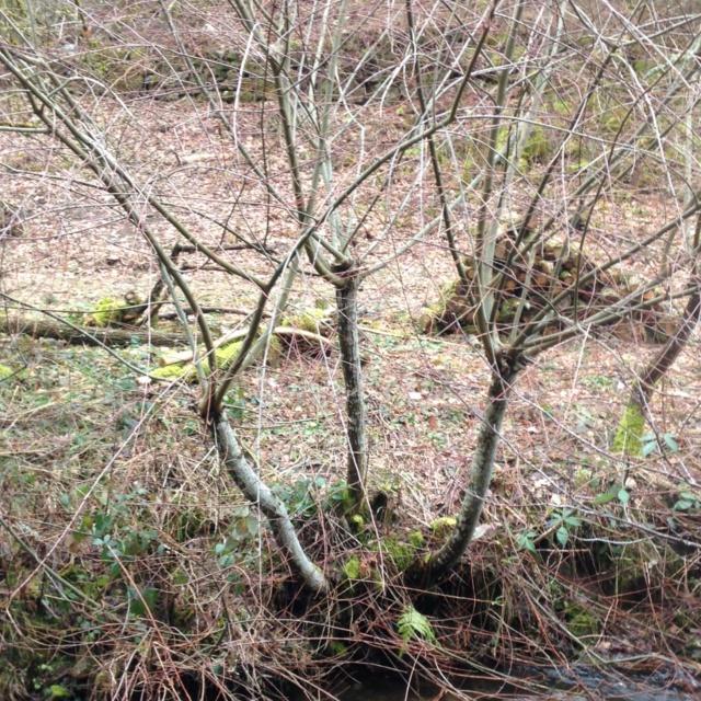 Production de bois de chauffage : la taille têtards (ou trognes, chapoules, charpoules...) Aulnes11