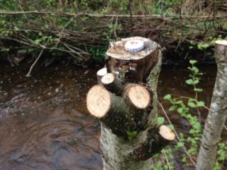 Production de bois de chauffage : la taille têtards (ou trognes, chapoules, charpoules...) - Page 2 Img_0411