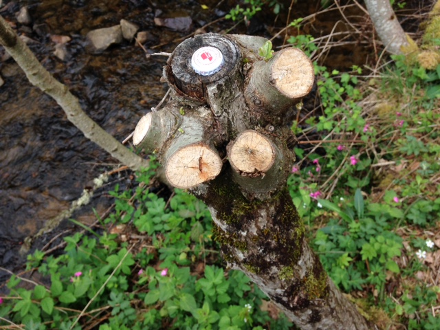Production de bois de chauffage : la taille têtards (ou trognes, chapoules, charpoules...) - Page 2 Photo_12