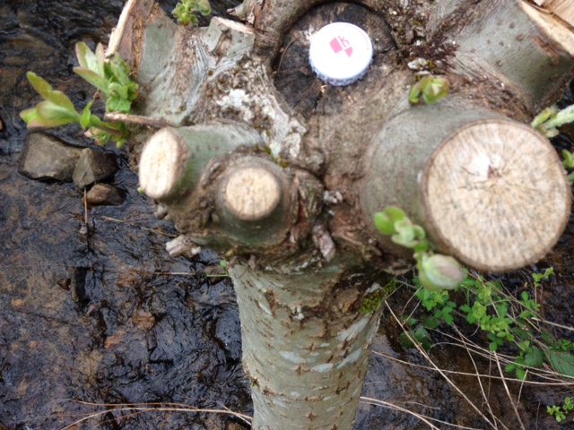 Production de bois de chauffage : la taille têtards (ou trognes, chapoules, charpoules...) - Page 2 Photo_13