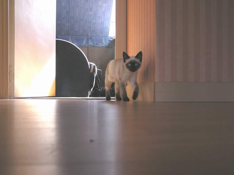 Des chats superbes ! - Page 93 Shakti15