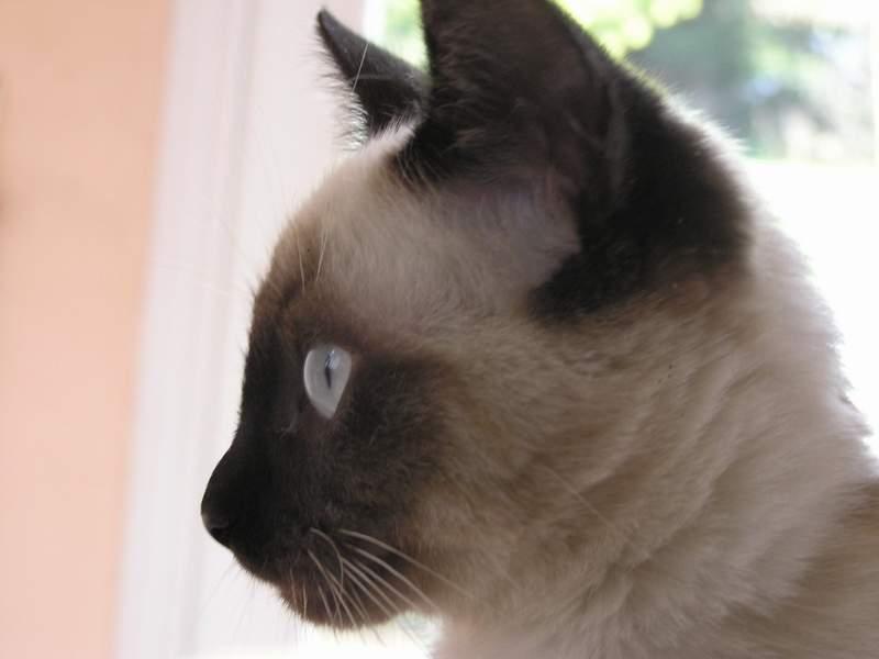Des chats superbes ! - Page 93 Shakti21
