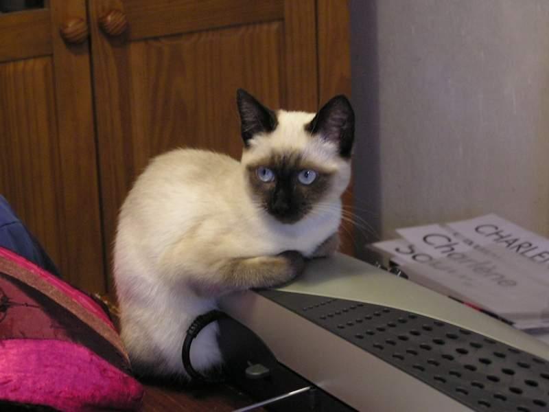 Des chats superbes ! - Page 93 Shakti25