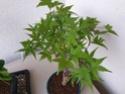 Consigli bonsai acero - Pagina 2 20200712