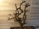 Carmona senza foglie e con muffa nel terreno 20201210