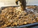 Carmona senza foglie e con muffa nel terreno 20201211