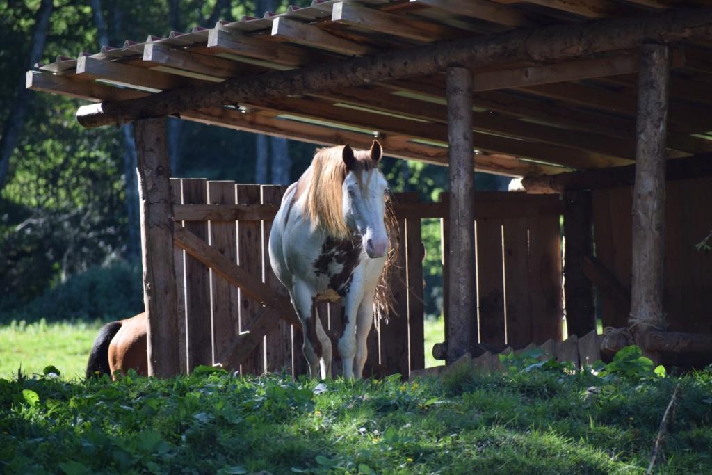 Dept19-6 ans- COYOTTE C-D- Paint horse-réservé par Steff39 (Janvier 2019) 78712910