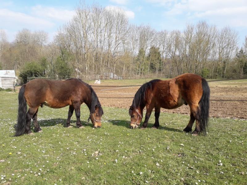 Dpt 77, 13 et 15 ans, Automne et Coyote, poneys ONC, sauvés par Marie B. (2018) Automn10