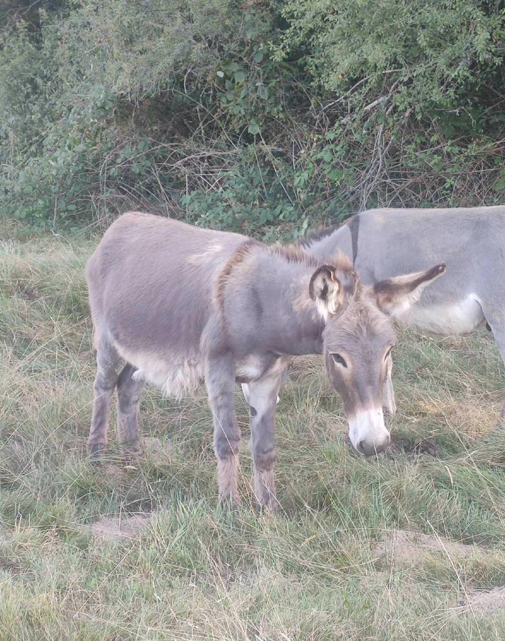 (dept 71) 1 an -POUPY - änon gris - mâle - réservé par christelle (aout 2020) Img_1486