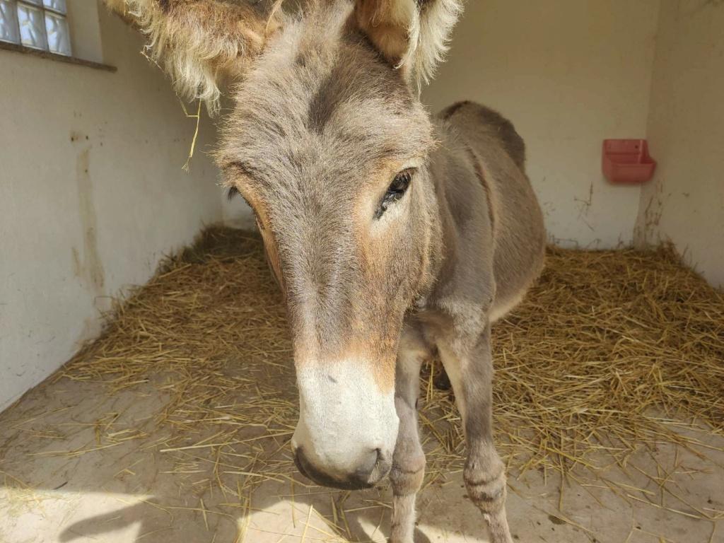 (dept 71) 1 an -POUPY - änon gris - mâle - réservé par christelle (aout 2020) Img_1517