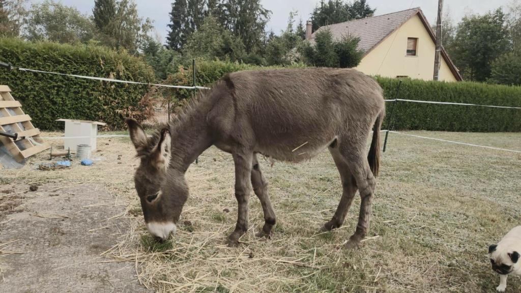 (dept 71) 1 an -POUPY - änon gris - mâle - réservé par christelle (aout 2020) Img_1520