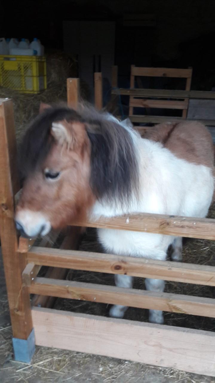 (dept 71) - 11 mois - HAVANNE - onc poney - jument - Nathalie R. (mars 2018) Thumbn17