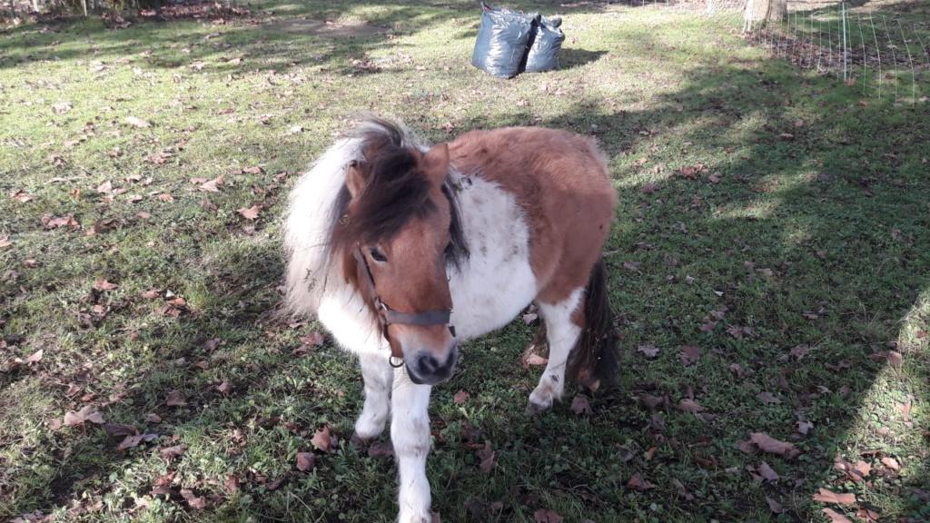 (dept 71) - 11 mois - HAVANNE - onc poney - jument - Nathalie R. (mars 2018) Thumbn20
