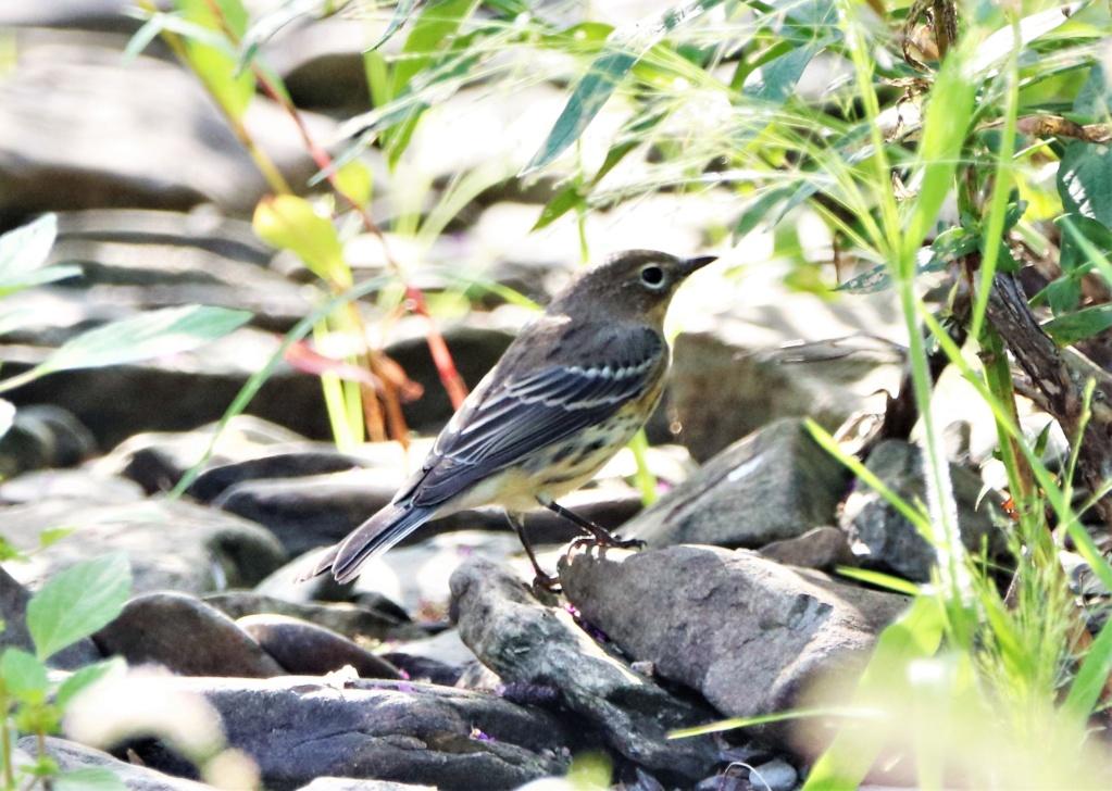 Oiseaux à identifier Img_0610