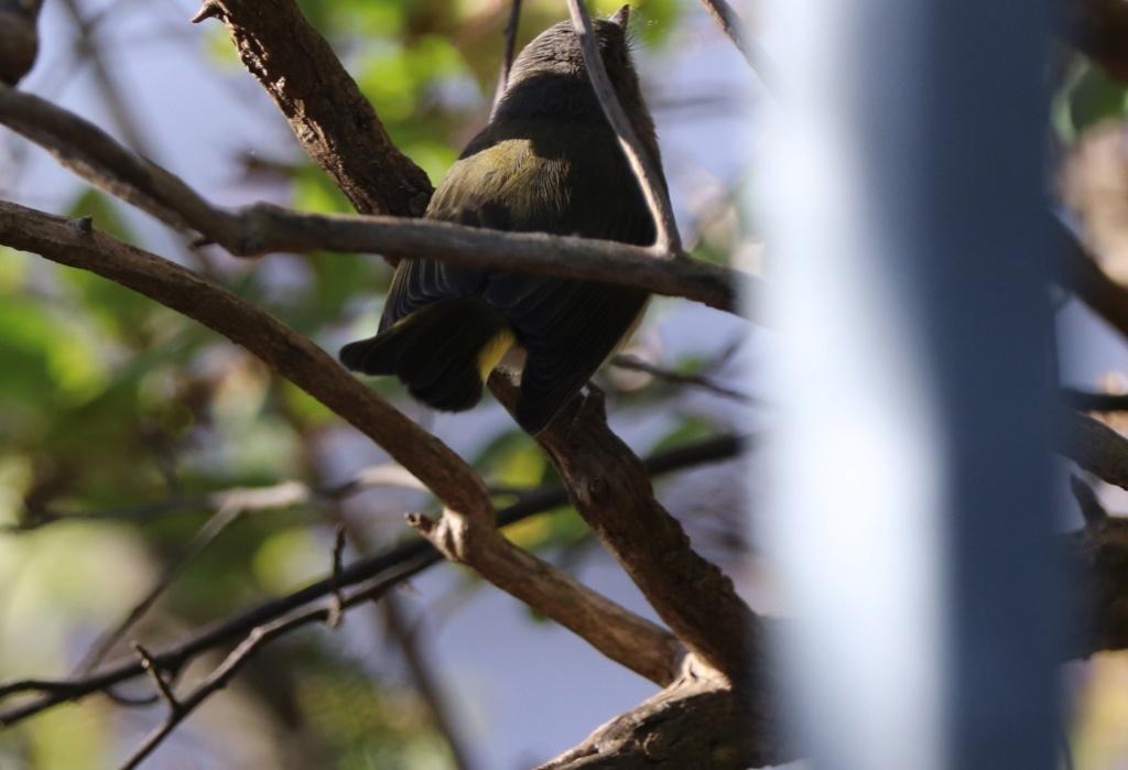 Oiseau à identifier Img_3910