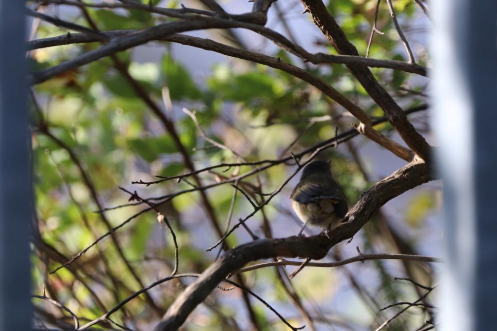 Oiseau à identifier Img_3911