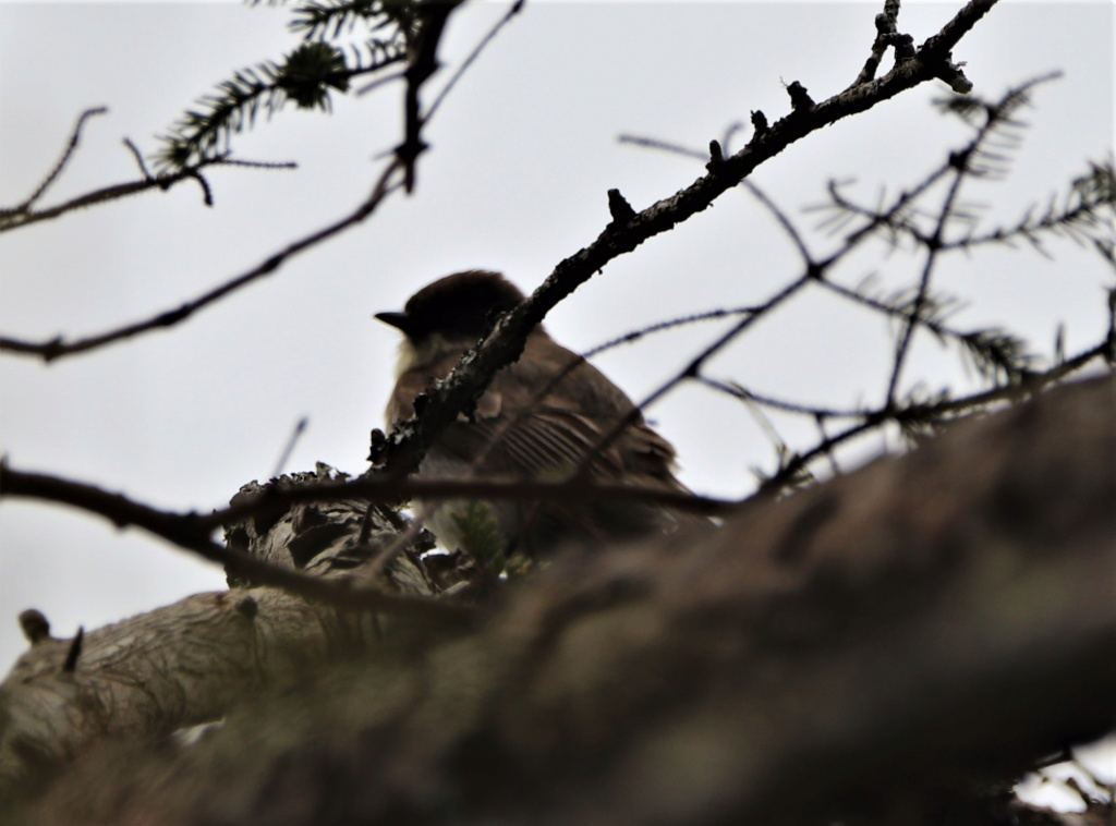 Oiseaux à identifier Img_7010