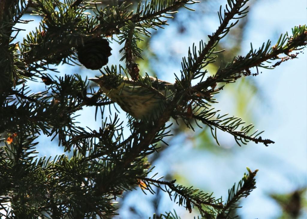 Paruline des pins ou paruline tigrée ? Img_8610