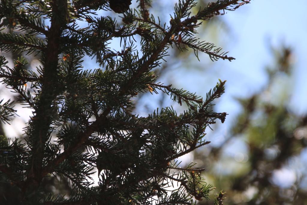 Paruline des pins ou paruline tigrée ? Img_8612