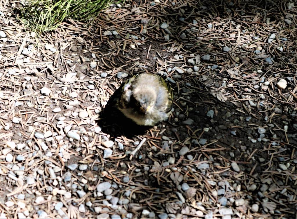 Oisillon aperçu aux jardins du Mitis Img_9112