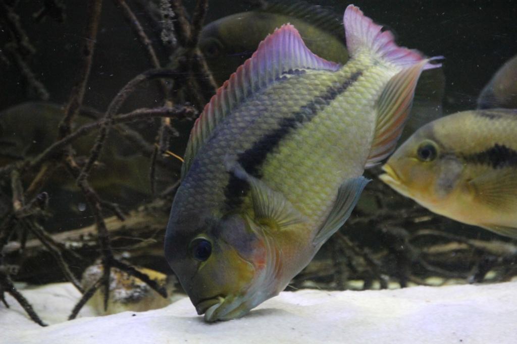 Heterochromis multidens  (Pellegrin, 1900) - Página 4 Img-2048