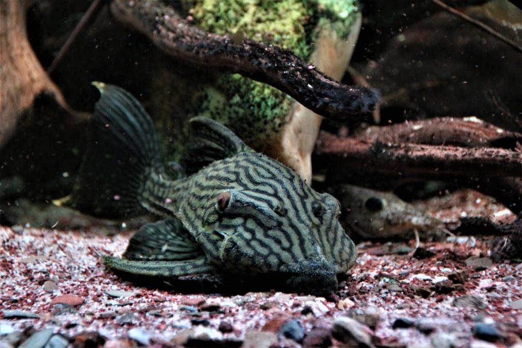 Panaque cf. nigrolineatus  - L330, Watermelon Pleco Img-2146