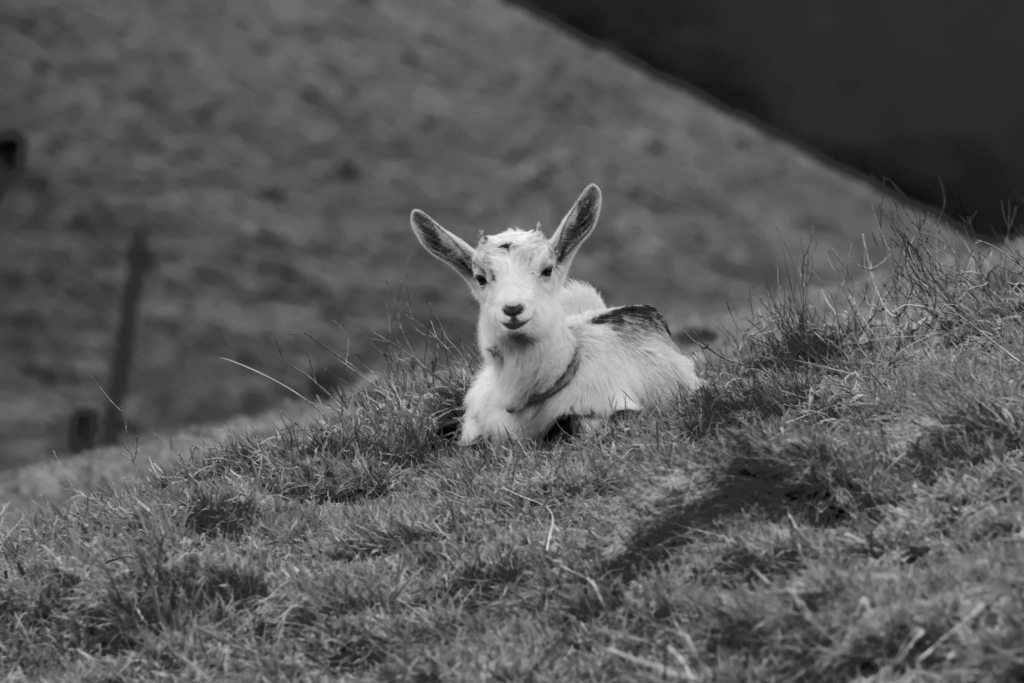 Chèvres et moutons