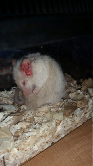 URGENT Something wrong with pet mouse  15363611