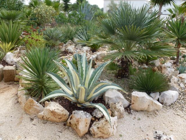 Aus einer Wüste entsteht ein Exotengarten - Seite 45 Americ11