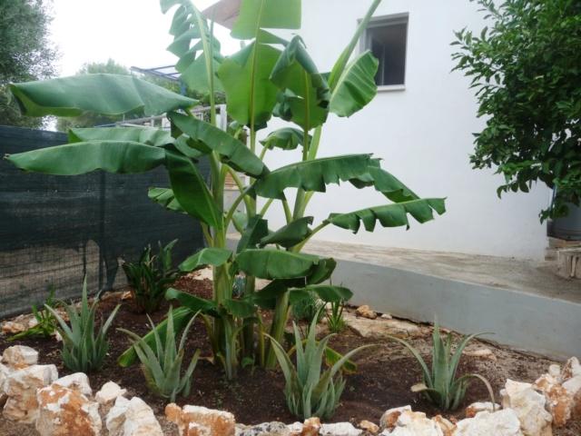 Aus einer Wüste entsteht ein Exotengarten - Seite 24 Banane11