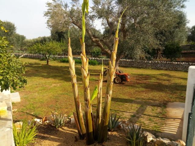 Aus einer Wüste entsteht ein Exotengarten - Seite 24 Banane12