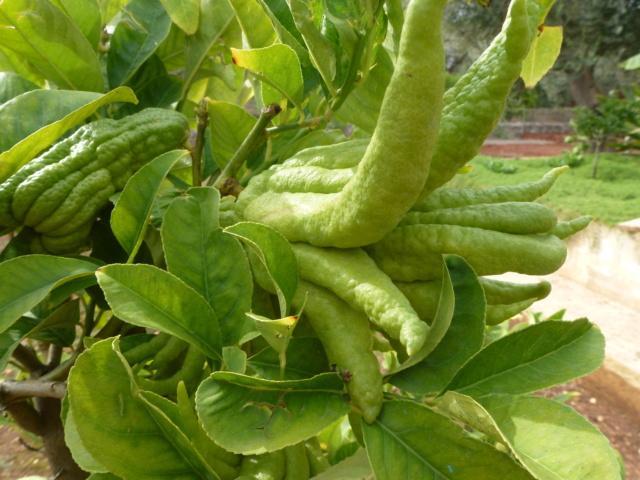 Aus einer Wüste entsteht ein Exotengarten - Seite 45 Citrus10
