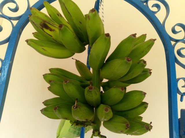 Bananengewächse (Musaceae) - Seite 9 Img_2133