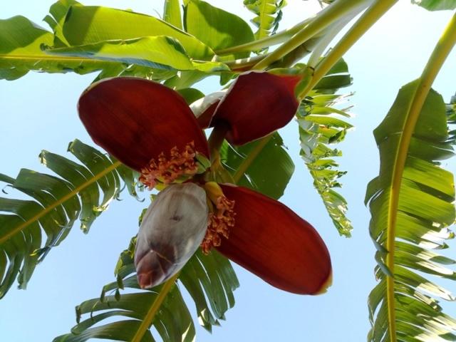 Bananengewächse (Musaceae) - Seite 9 Img_2134